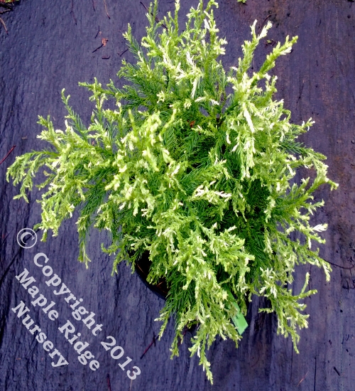 Cryptomeria_japonica_Knaptonensis_2013_Maple_Ridge_Nursery.jpg