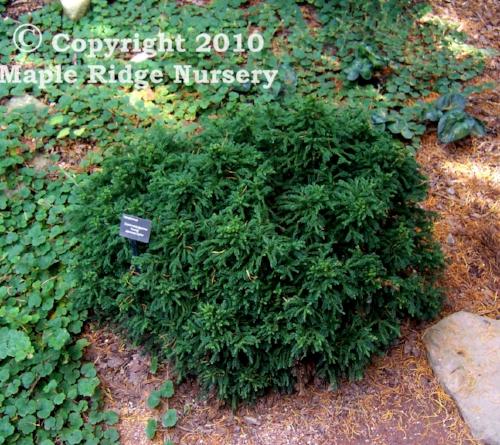 Cryptomeria_japonica_Koshyi_Maple_Ridge_Nursery.jpg