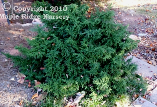 Cryptomeria_japonica_Tansu_2011_Maple_Ridge_Nursery.jpg