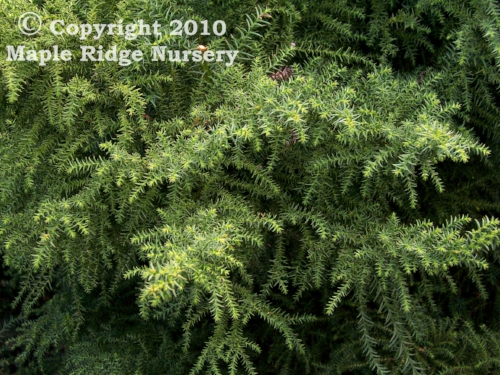 Cryptomeria_japonica_Tansu_Maple_Ridge_Nursery.jpg