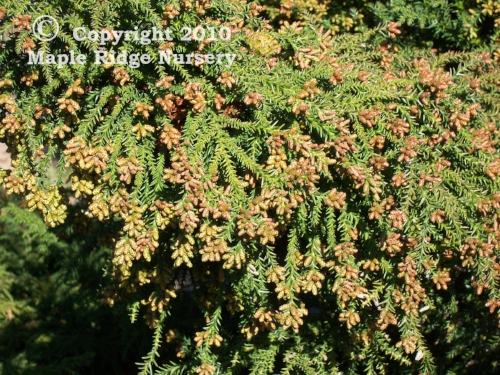 Cryptomeria_japonica_Tansu_winter_Maple_Ridge_Nursery.jpg
