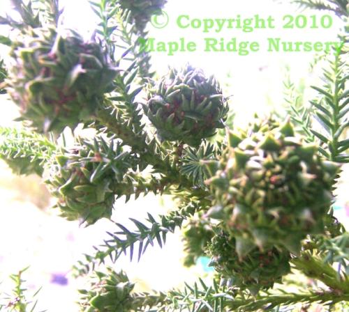 Cryptomeria_japonica_Yellow_Twig_Maple_Ridge_Nursery_2.jpg