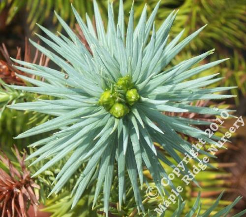Cunninhamia_lancelotta_Samurai_Maple_Ridge_Nursery.jpg