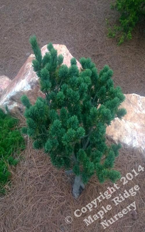 Pinus_parviflora_Adcocks_Dwarf_2014_Maple_Ridge_Nursery.jpg