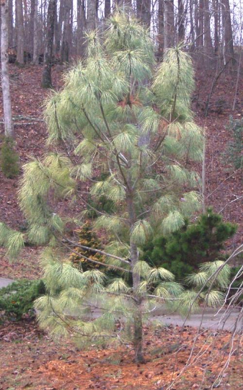 Pinus_wallichiana_Zebrina_Maple_Ridge_Nursery.jpg