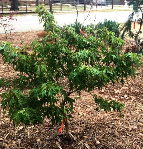 Acer buergerianum 'Mino yatsabusa'