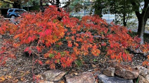Acer_japonicum_Green_Cascade_November_Maple_Ridge_Nursery_3.jpg