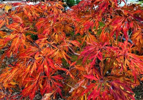 Acer_japonicum_Green_Cascade_November_Maple_Ridge_Nursery_4.jpg