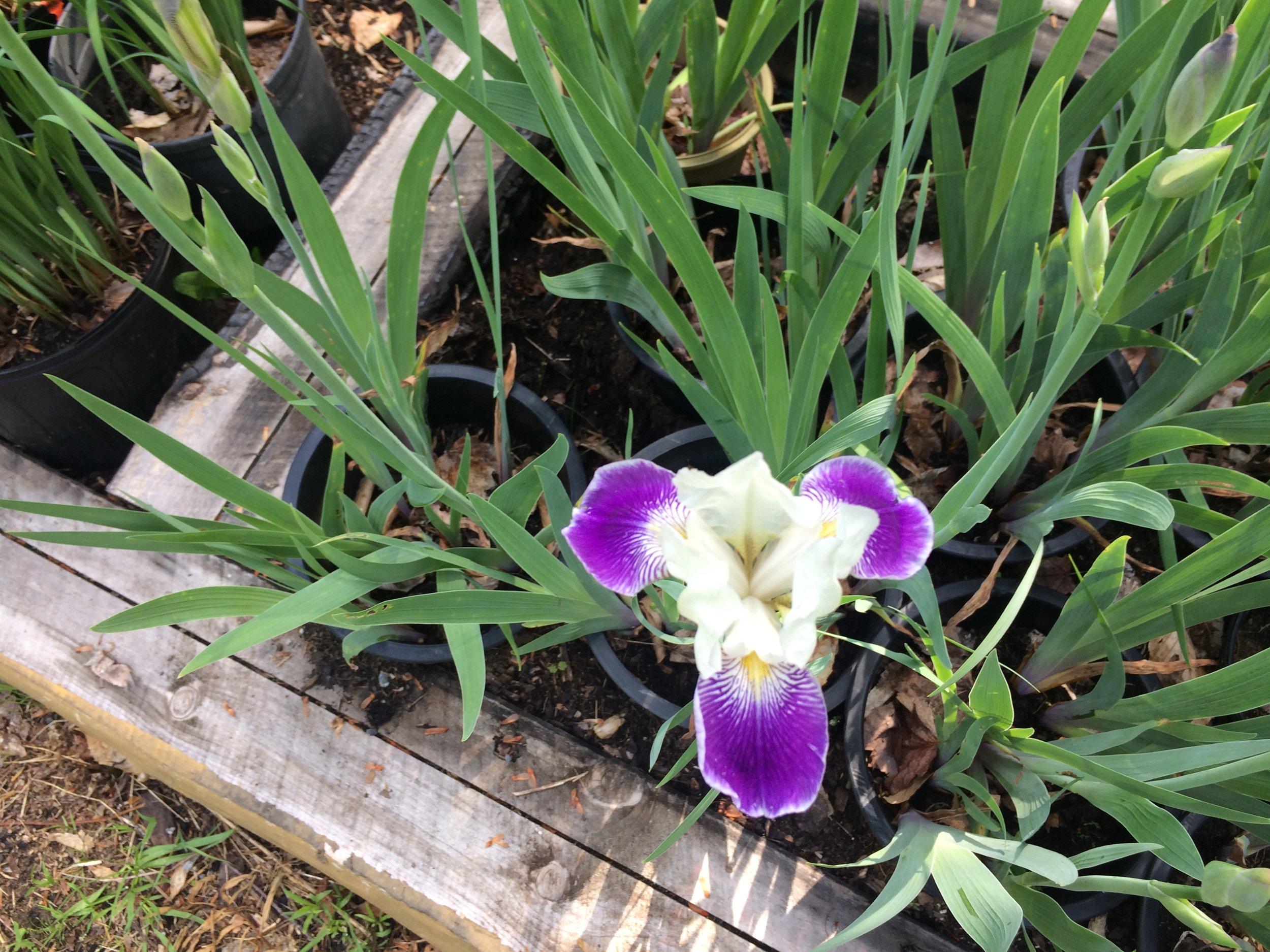 Purple and White Bearded Iris