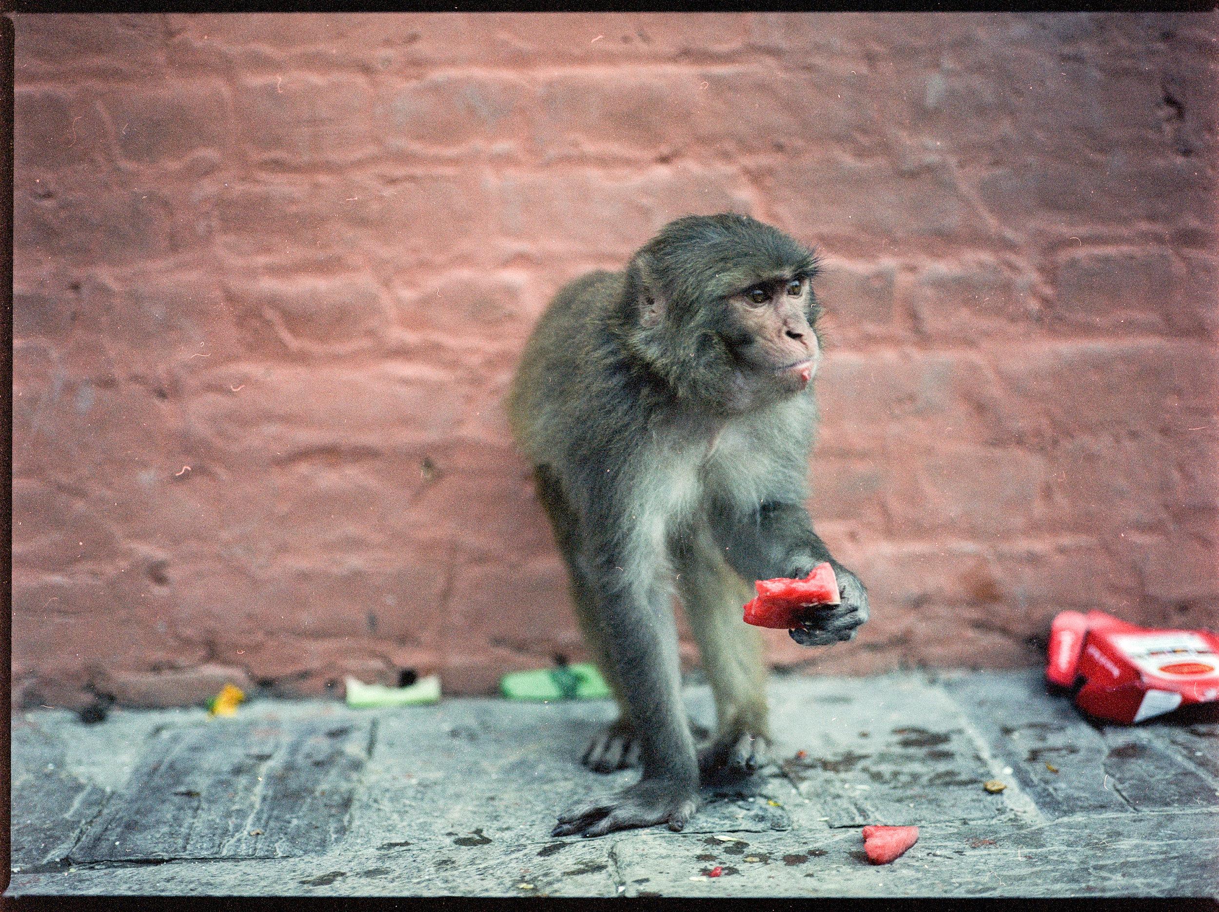 Nepal_Mamiya_monkey.jpg