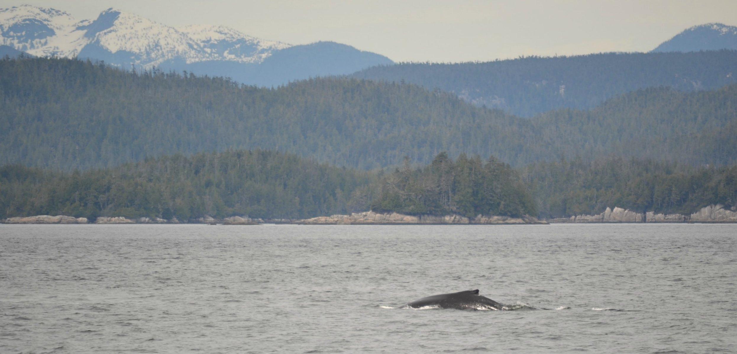 stubbs-whale-watching-orca.jpg
