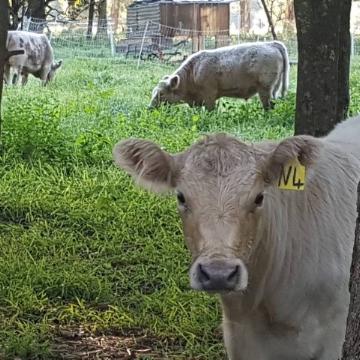 Steers.jpg