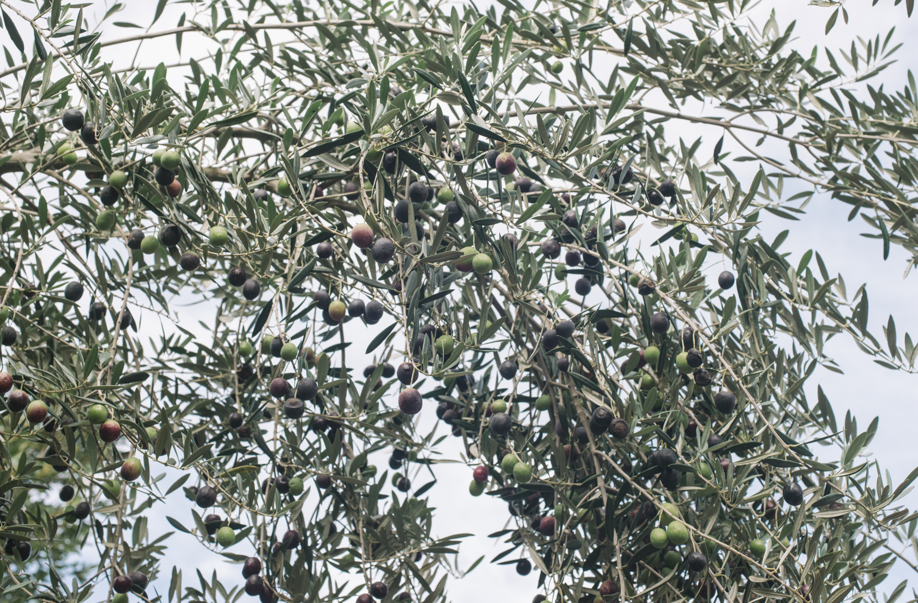 Olives on a much higher branch