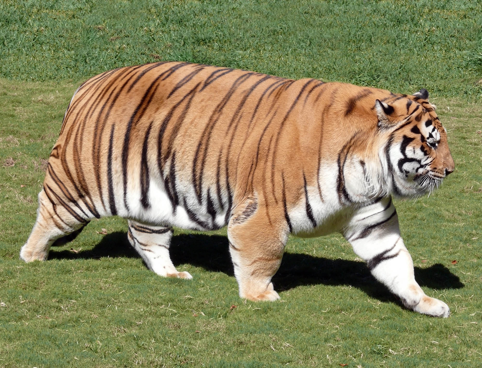 "Photoshop composite for  The Onion  article,  ""LSU Tiger Reports To Training Camp Completely Overweight"""