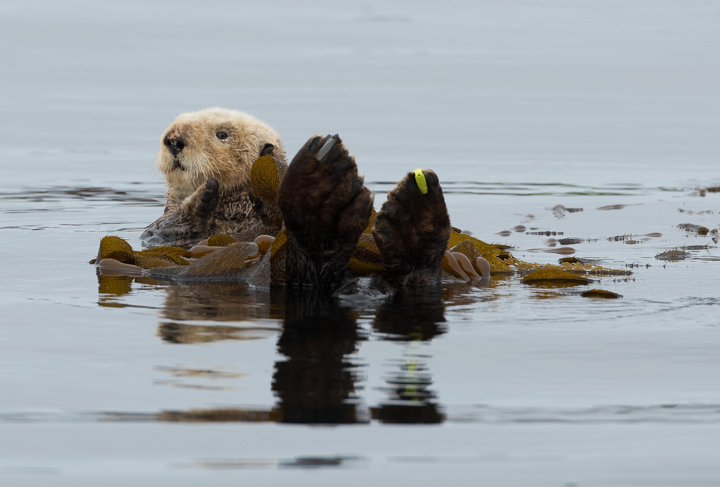 Tofino Sea Otter