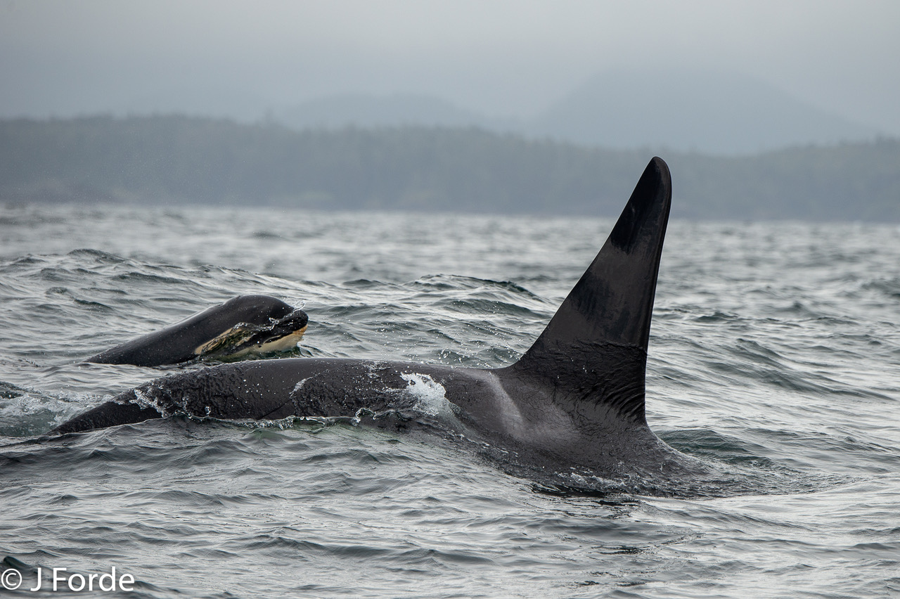 Southern Resident Killer Whales, J Pod, Tofino