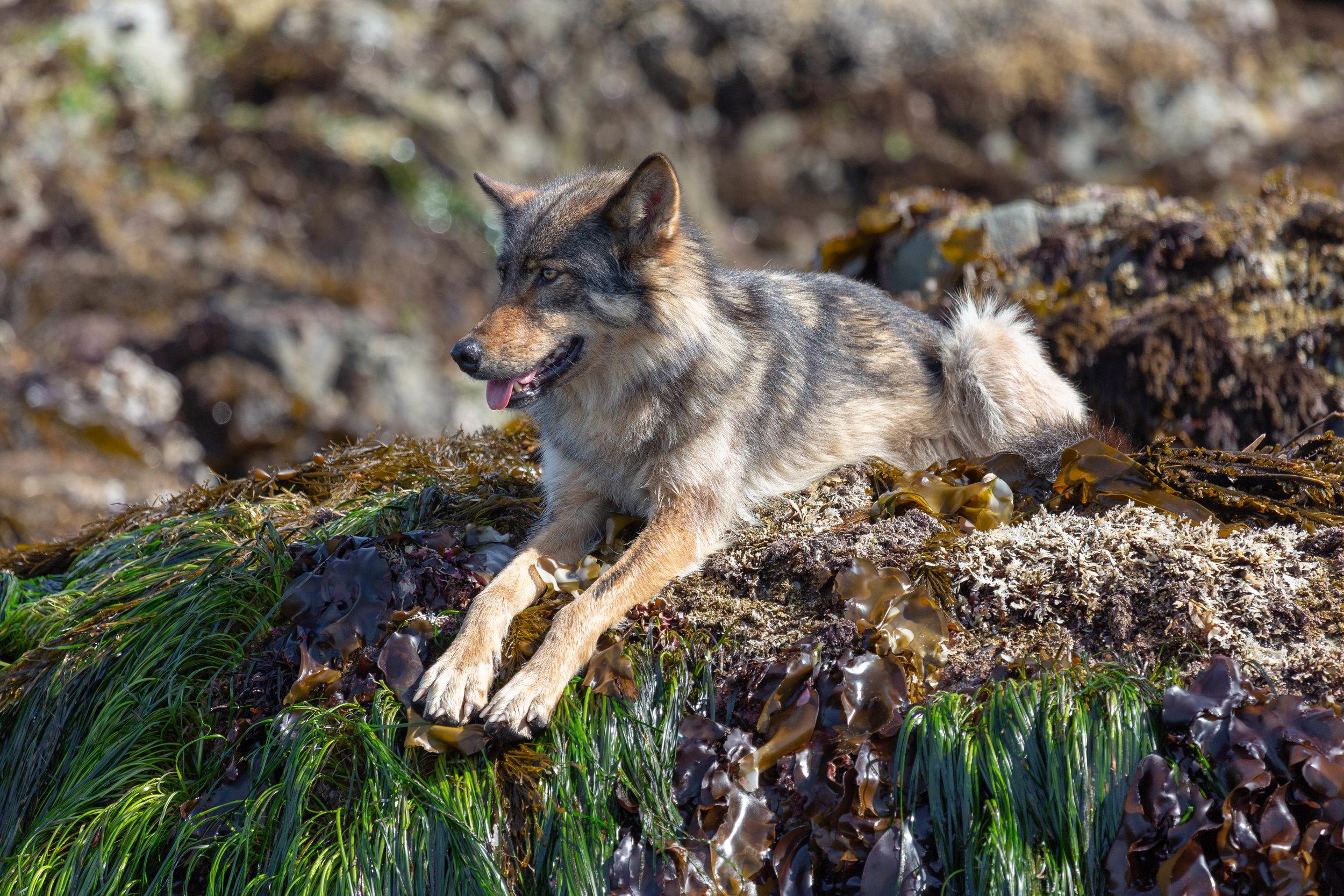 Vancouver Island Wolf, Tofino