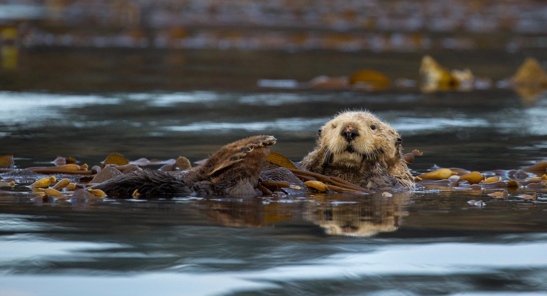 Sea Otter Tofino.jpg