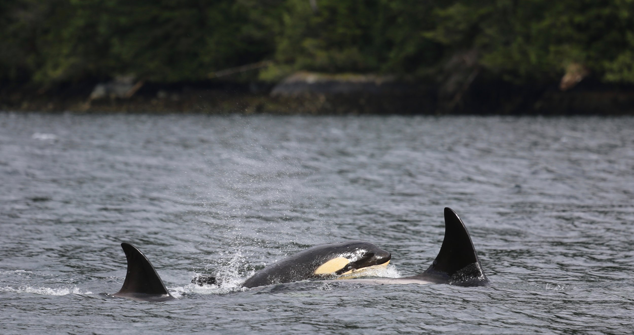 T023D with new calf, Tofino, BC
