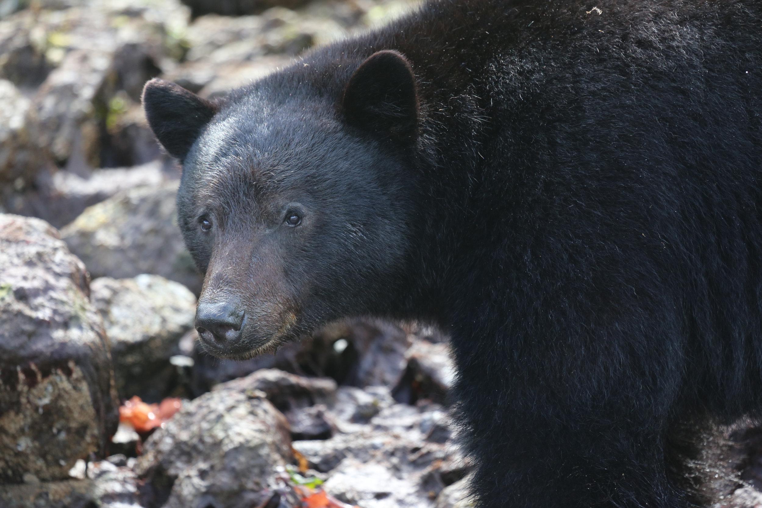 Tofino Bear Watching Tour  .jpg