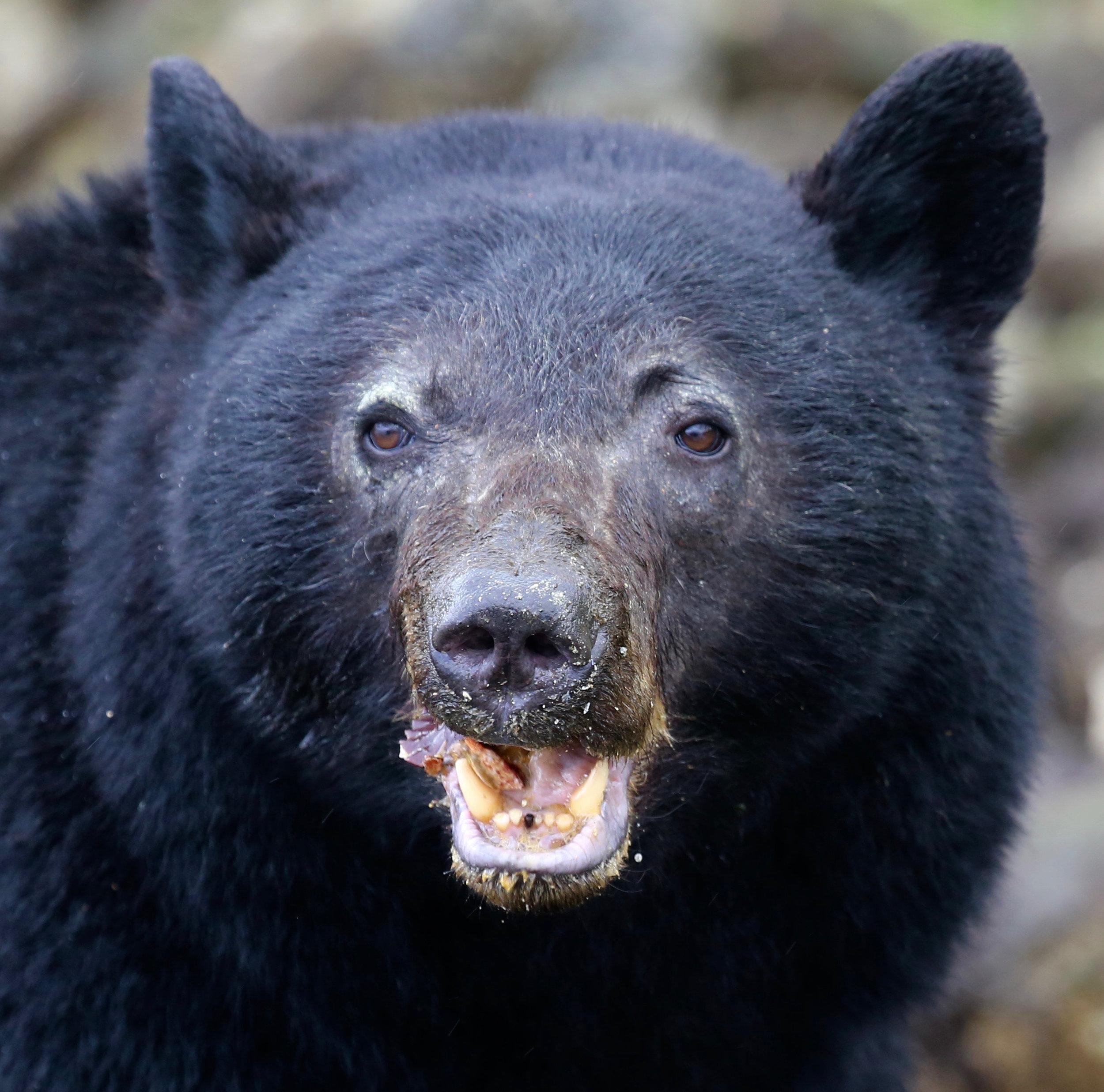 Tofino Bear Watching Tour jpg.jpg