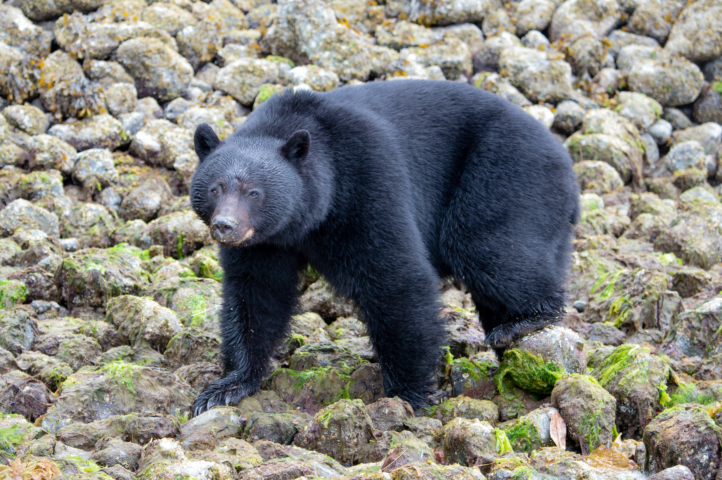 BEAR WATCHING TOUR TOFINO