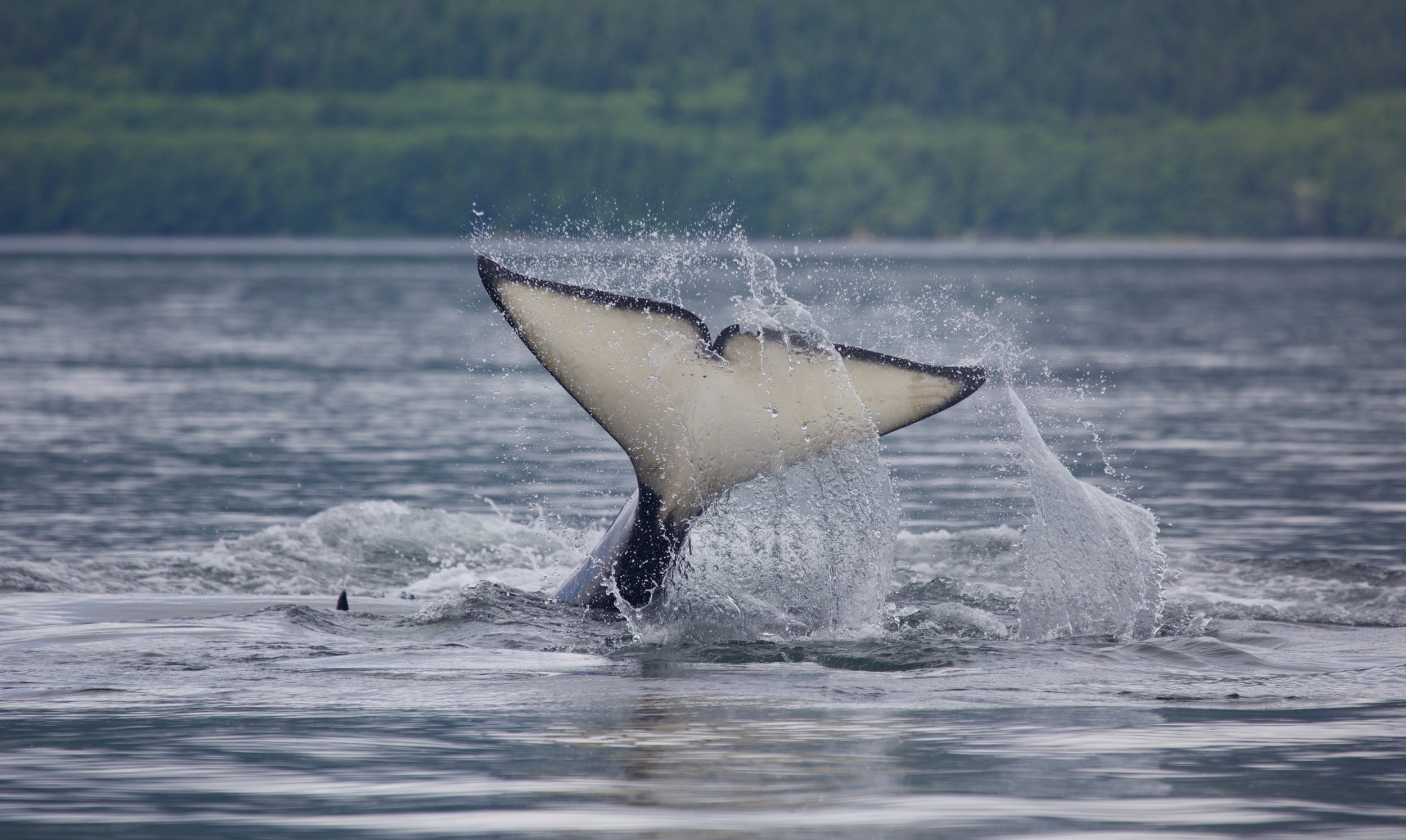 Tofino Killer Whale Tours