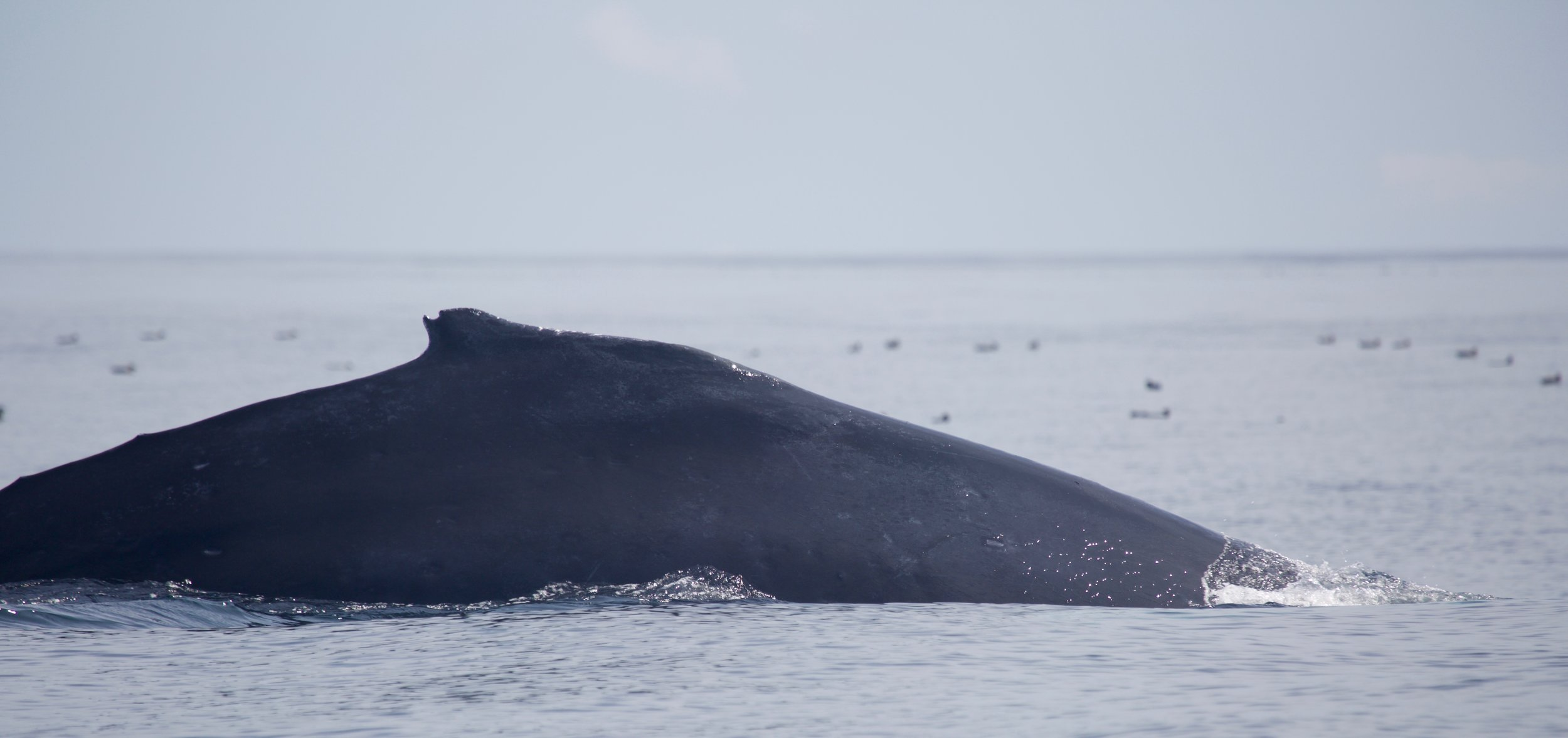 Humpback Whale, Tofino