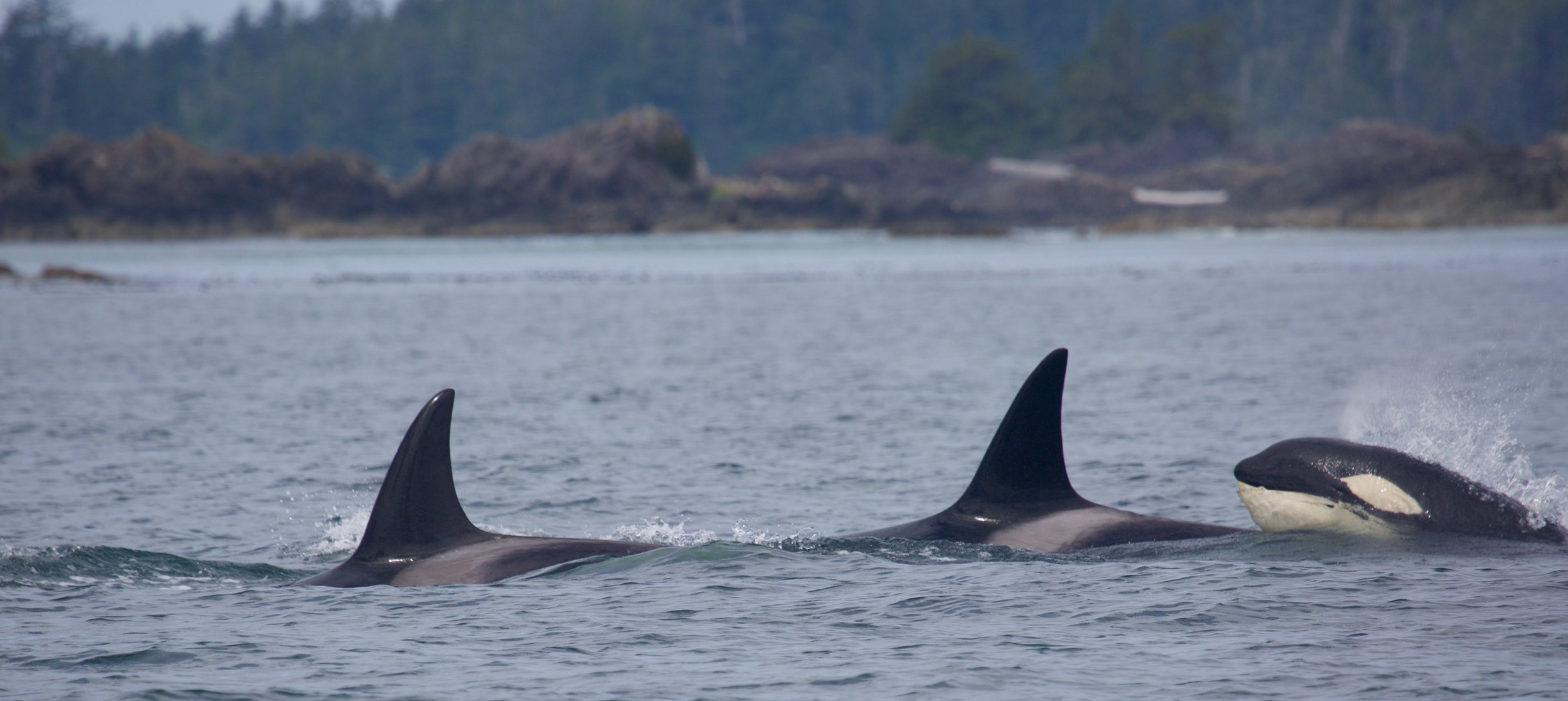 Whale Watching Tours, Tofino
