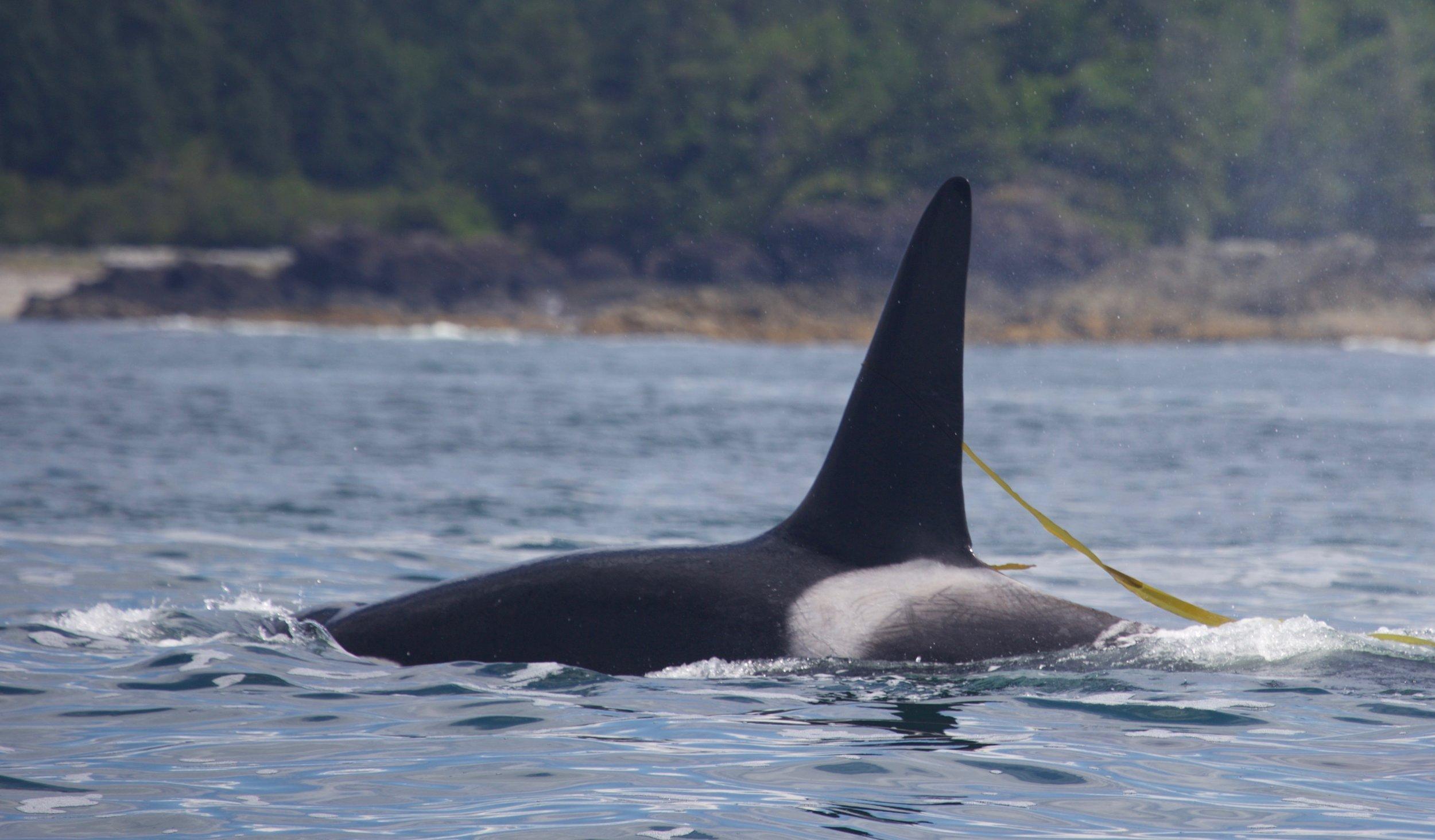 T097 Killer Whale, Tofino