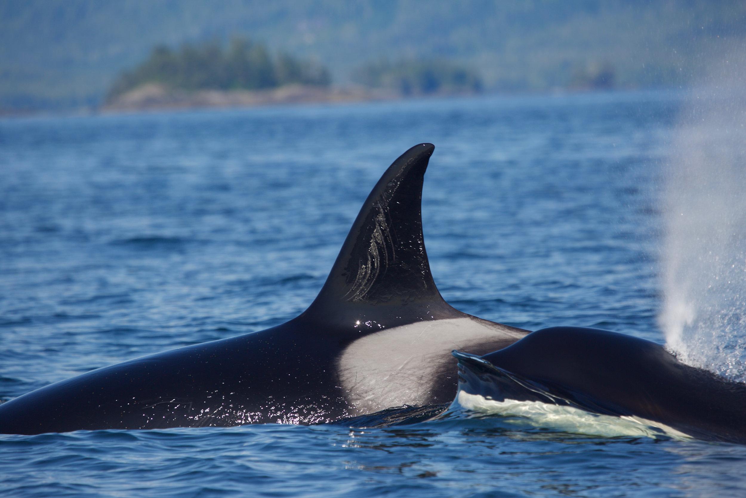 Transient Killer Whale T109, Tofino