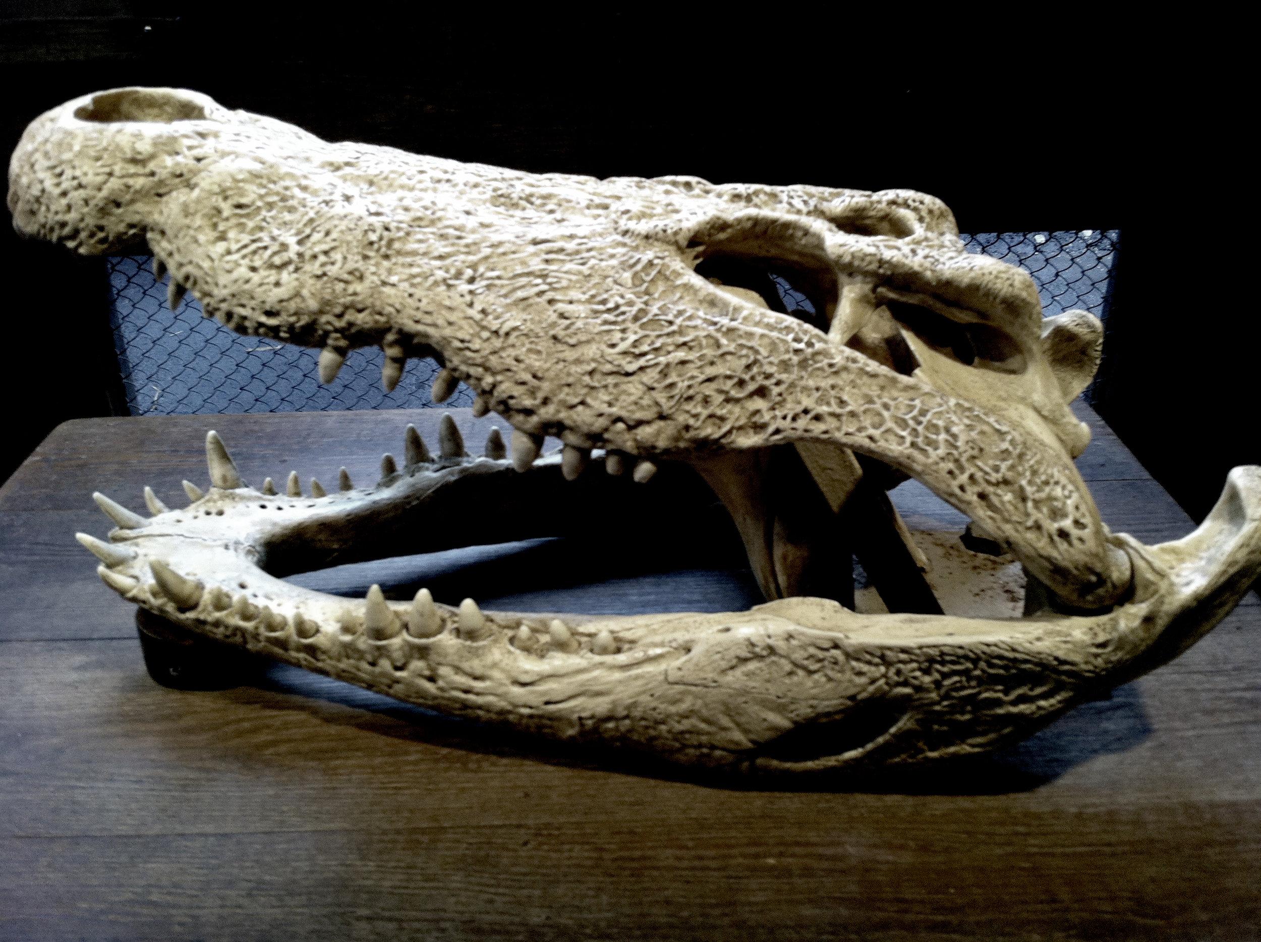 Crâne d'un crocodile