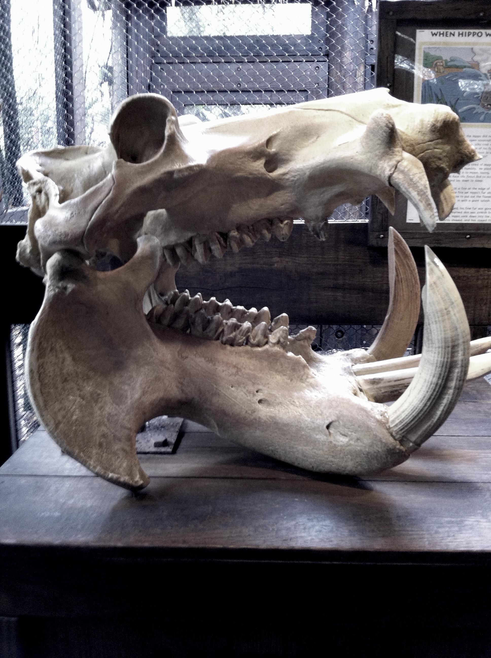 Crâne d'hippopotame