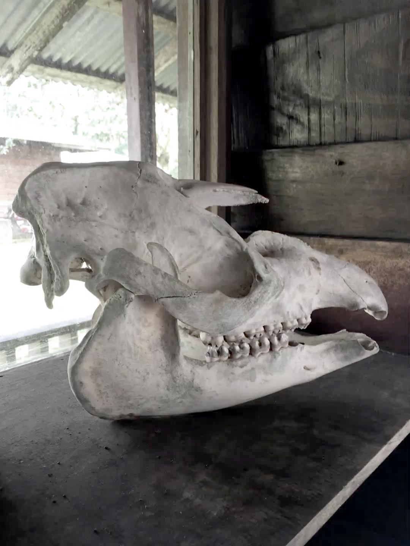Crâne d'un tapir