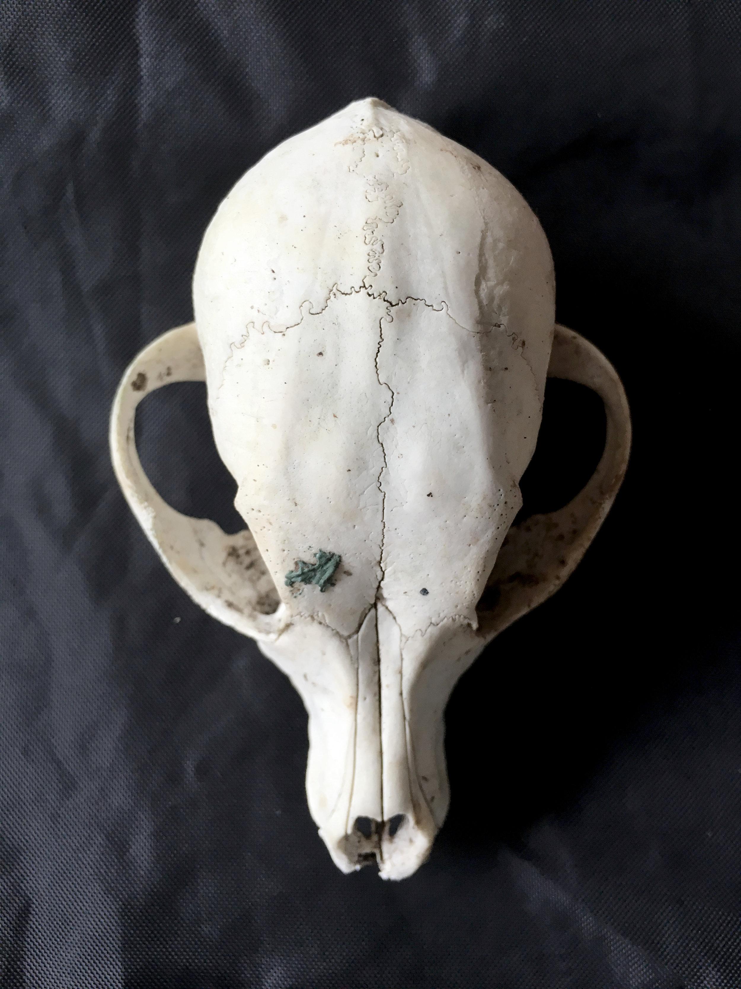 Crâne  Costa Rica