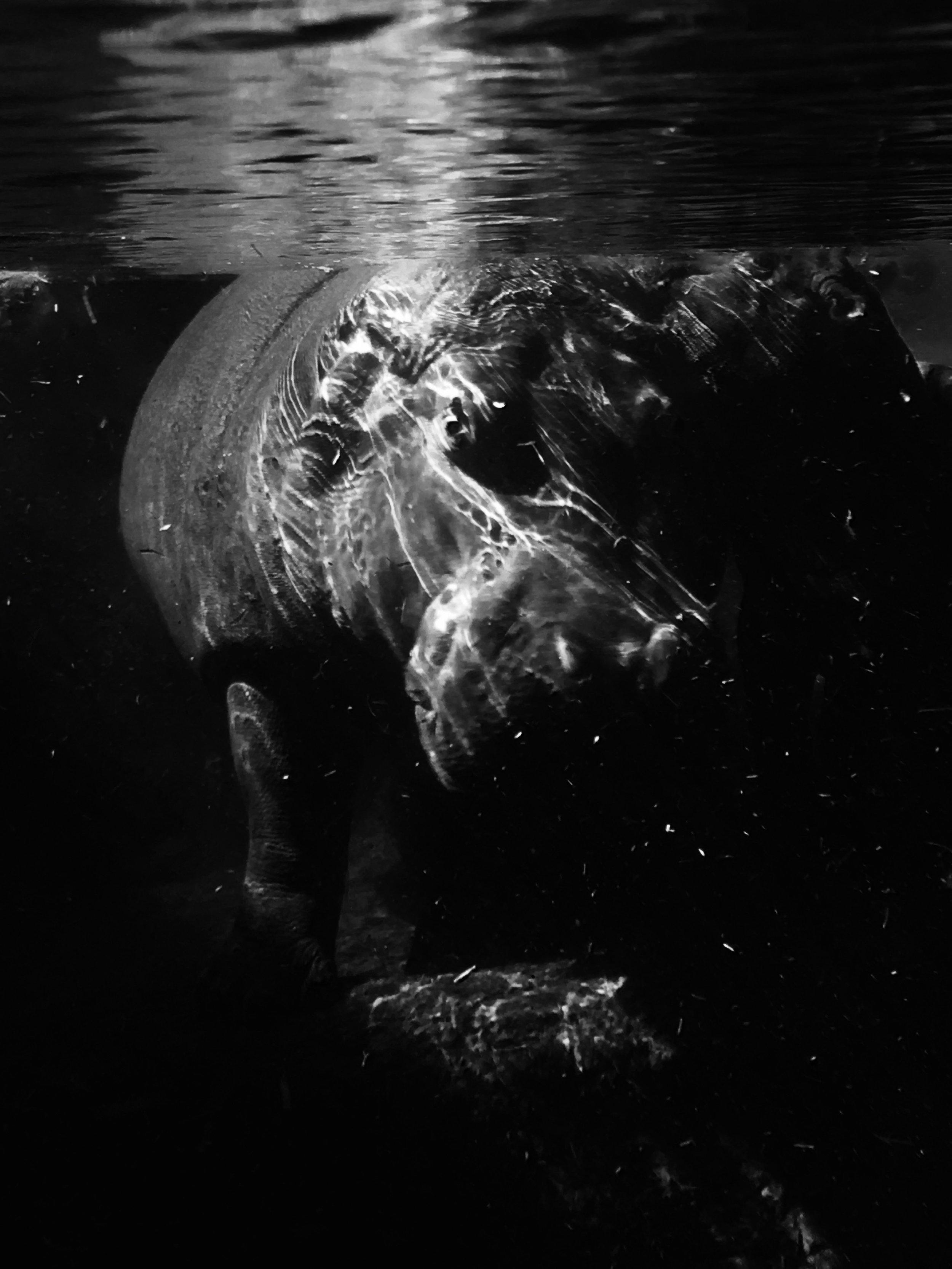 Observation, hippopotame sous l'eau