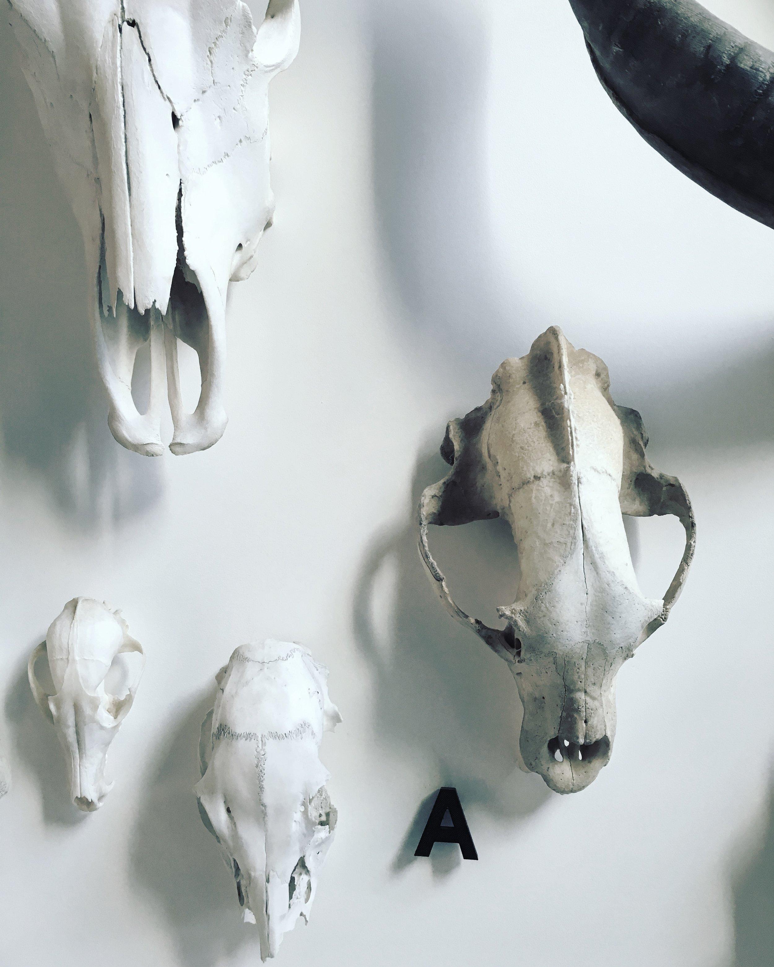 Collection de crânes  Maison, Mile end, Montréal