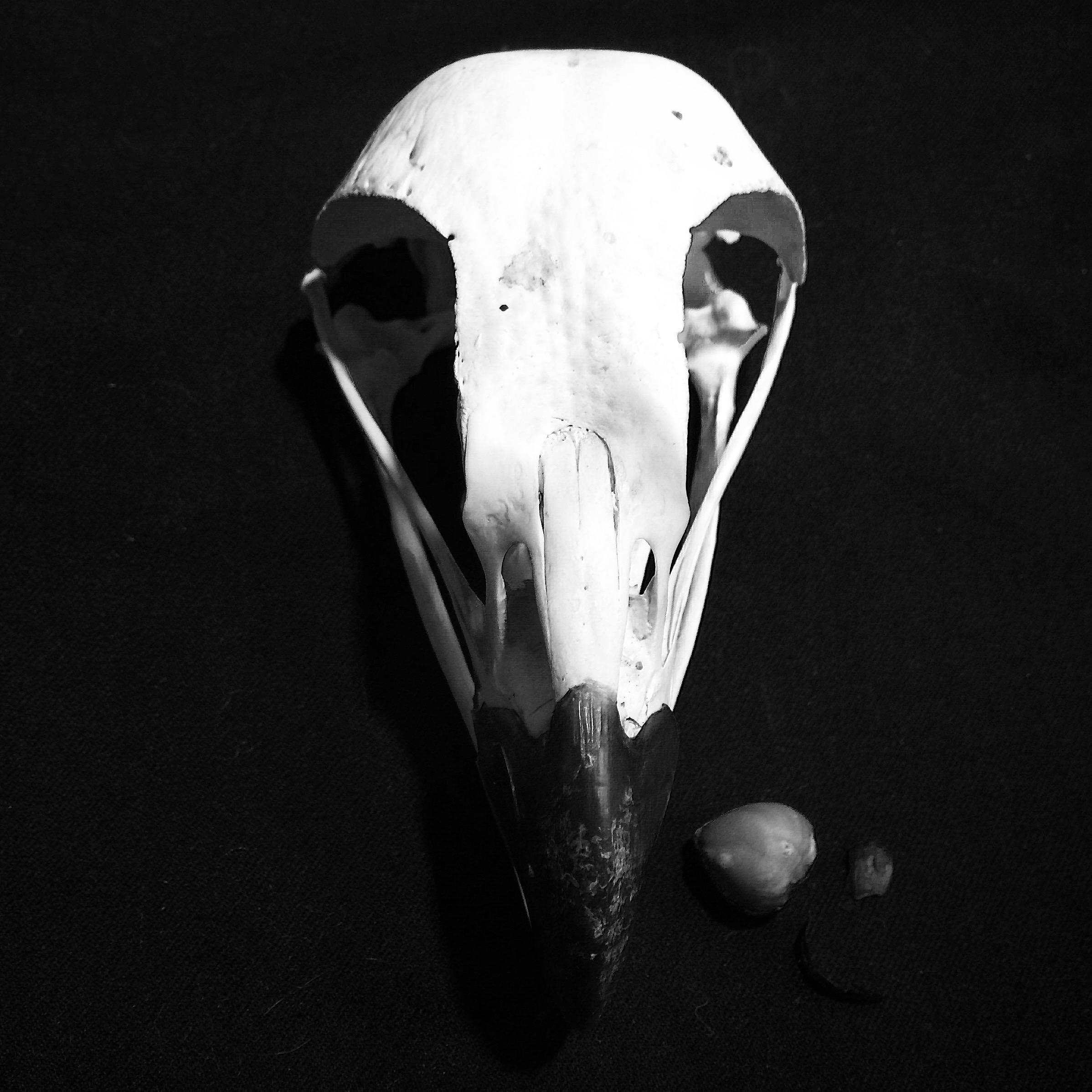 Crâne d'un pygargue à tête blanche