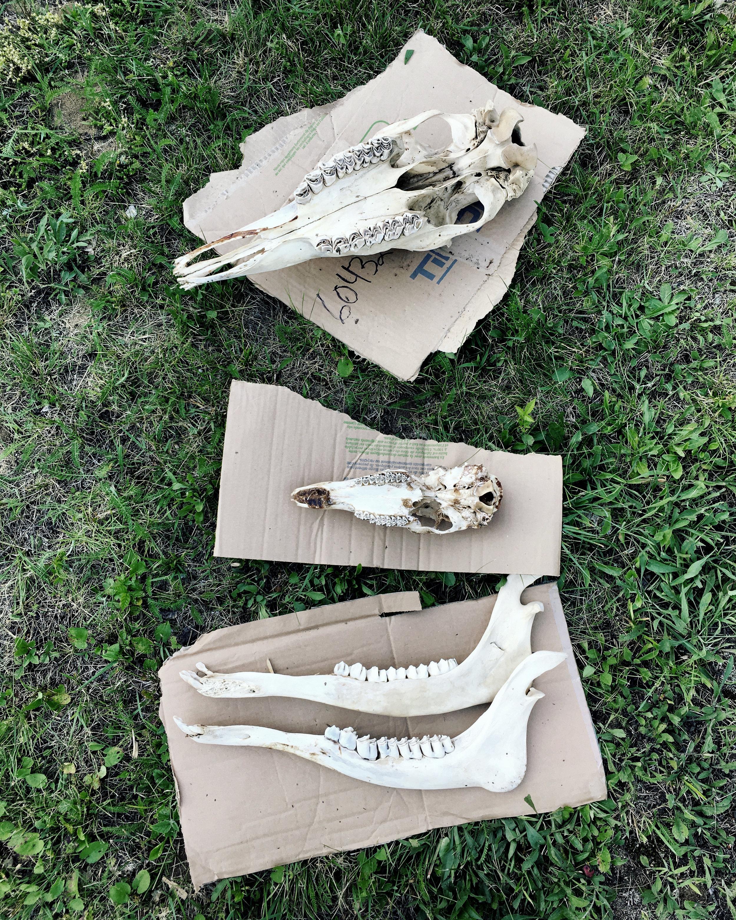 Crânes de chevreuil et d'orignal  Au chalet, St-André Avellin, Outaouais