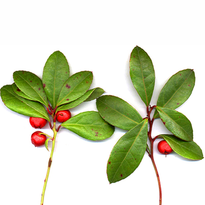 Wintergreen  Pain Reliever, Helps prevent Tooth Decay, Anti-inflammatory