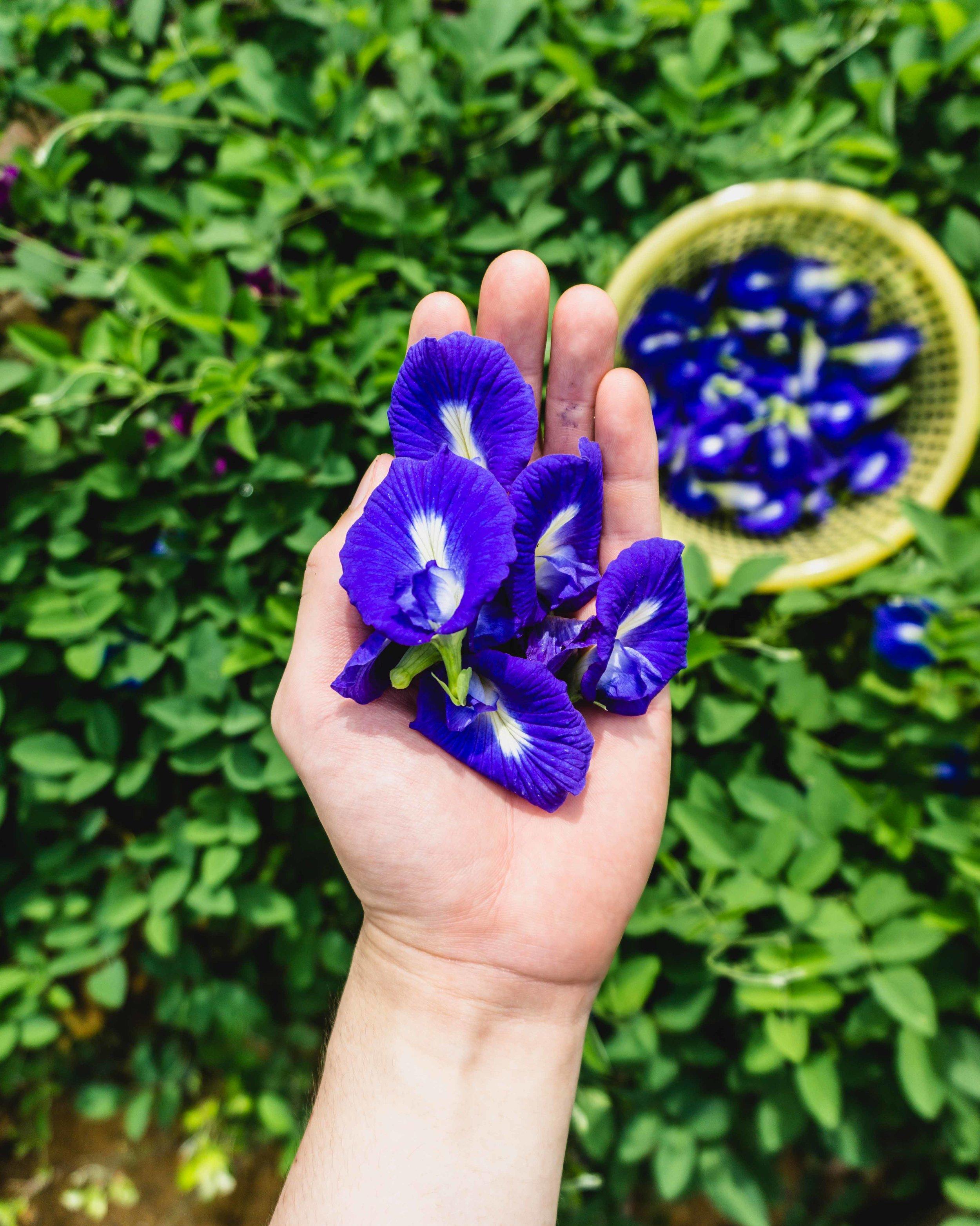 Butterfly Pea Flowers