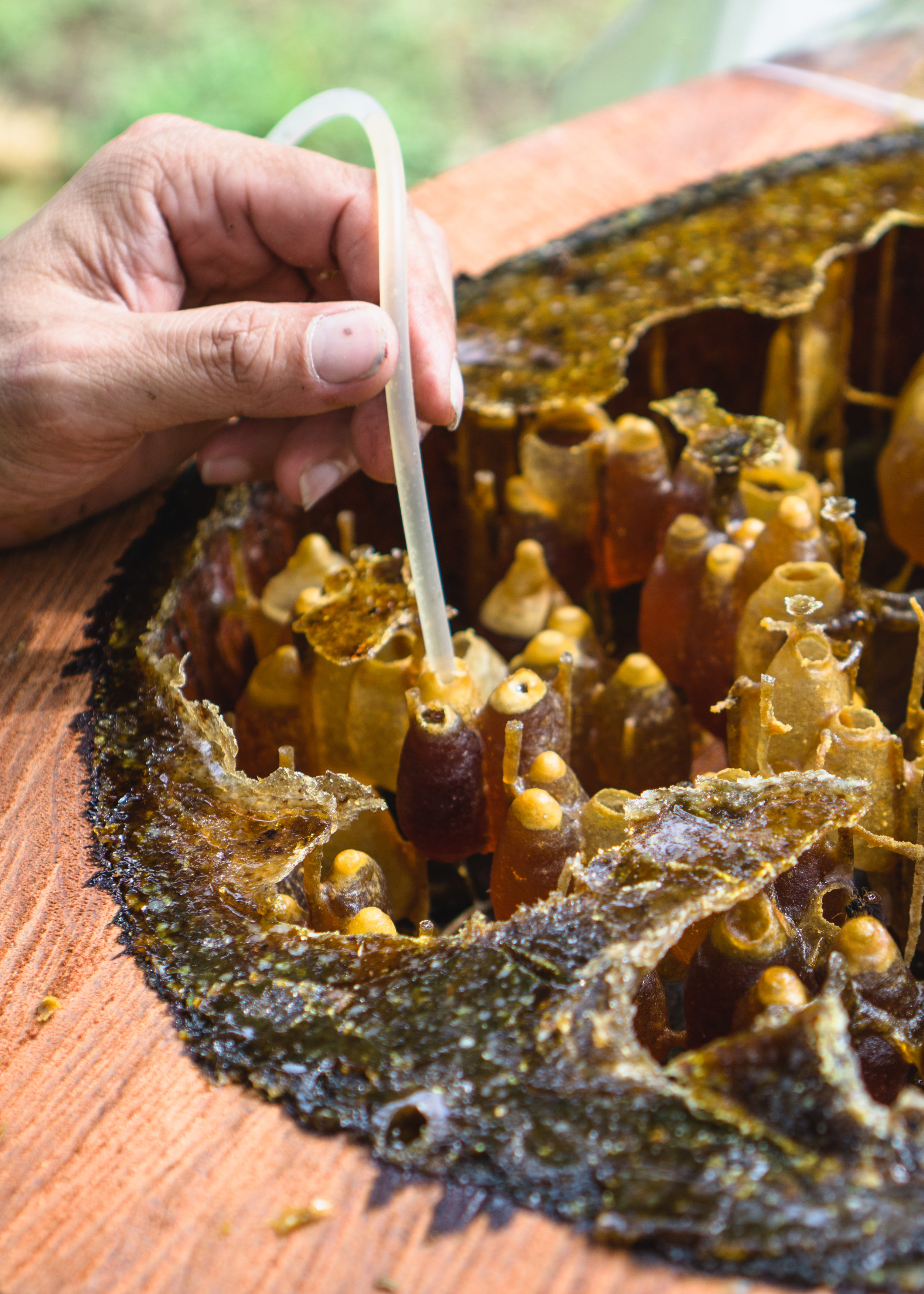 Extraction of kelulut trigona stingless bee honey-Jun and Tonic