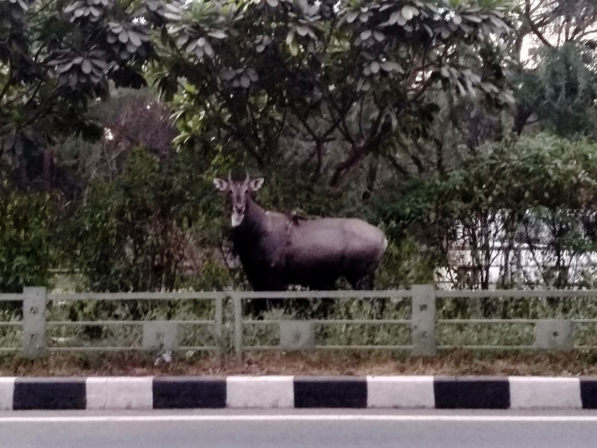 The other day me and my friend saw a wild  neelgai  trying to cross the road between our college and adjoining forest. Pic credits: Utkarsh Anand