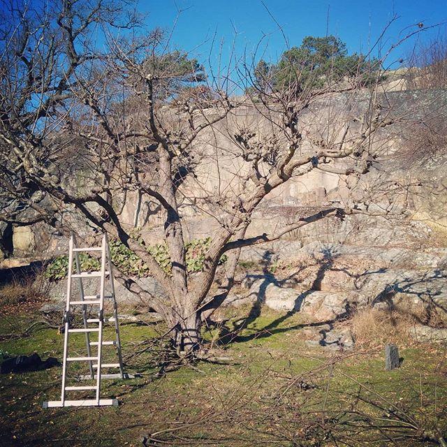 Nu är våren här och beskärningarnas tid är  igång för fullt! Klättra i äppelträd i värmande sol med fina kollegan André och njuta av vårens första krokusar känns fantastiskt lyxigt efter vinterns mörker.