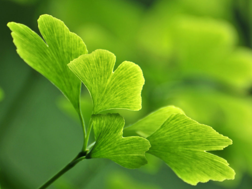 Nootropics - natural performance enhancers - gingko biloba