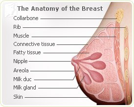 Figure 1 - Image of a Normal Breast