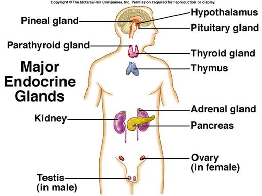 Figure 3 – Major Endocrine Glands: Hypothalamus → Pituitary gland, Pineal gland → Parathyroid gland, Thyroid gland → Thymus → Adrenal gland, Kidney → Pancreas → Ovary, Testes.