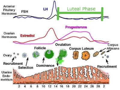 Figure 1 – Phases of the menstrual cycle.