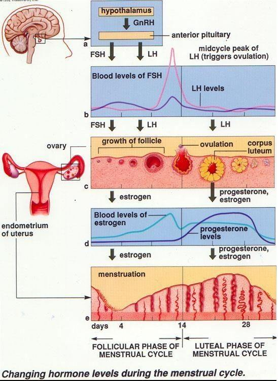 Figure 2 – Normal menstrual cycle and hormones.