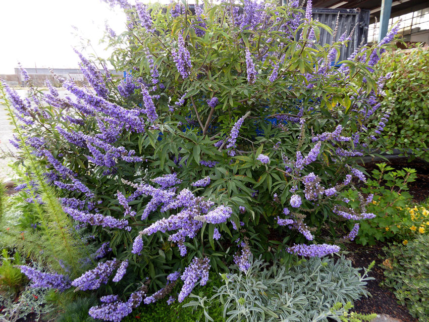 vitex_shoal_creek_habit_01.jpg